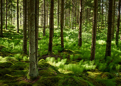 Forest, ground covered by ferns.
